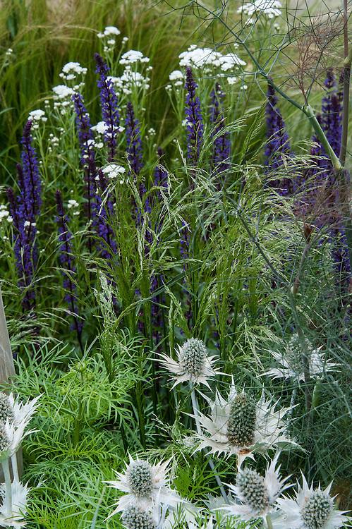 "Eryngium giganteum 'Miss Willmott's Ghost' and Salvia nemorosa 'East Friesland' ('Ostfriesland'). ""Coastal Drift"" show garden, designed by Susan Willmott and Adele Ford, Hampton Court Flower Show 2012."