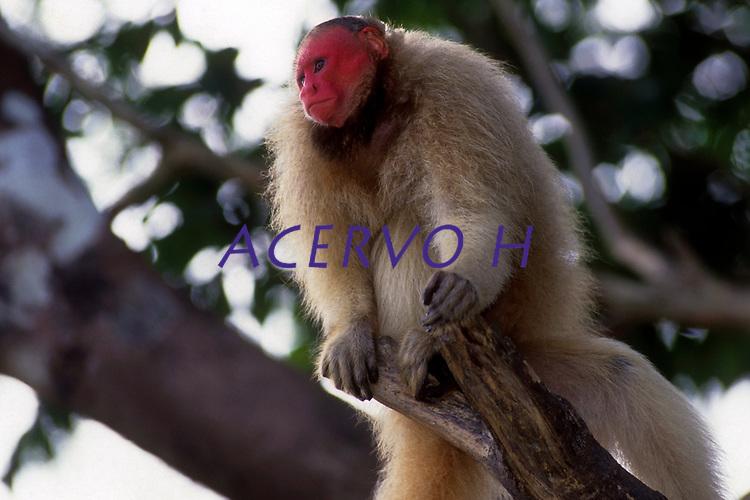 """Conhecido como """"Zé """" , o Uacari vermelho, morador Mamirauá no Amazonas, foi criado por pesquisadores desde filhote, agora adulto volta todos os dias no fim da tarde para receber comida dos moradores da reserva.<br /> A espécie difere de todas as outras formas de Cacajao por possuir uma pelagem em tom vermelho-escuro ou laranja-avermelhado em todo o corpo, exceto no manto (nuca e uma pequena parte das costas), que tem, em contraste, coloração camurça ou acinzentada.<br /> É um táxon pertencente à família Pitheciidae. A distribuição geográfica é mal conhecida. Existem apenas sete pontos de registro empírico para o táxon. Apesar de terem sido parcialmente confirmadas por dois espécimes da coleção do Museu de Zoologia da Universidade de São Paulo, identificados por José Márcio Ayres (Buiuçu, margem noroeste do canal Auati-Paraná), tais hipóteses ainda carecem de verificação mais acurada, a partir de um levantamento sobre ocorrências em toda a região.<br /> <br /> Uacari-Branco, acari, macaco-inglês ou simplesmente uacari (nome científico: Cacajao calvus) é um macaco do Novo Mundo do género Cacajao, e família Pitheciidae encontrado originariamente na Amazônia brasileira.<br /> <br /> A pelagem é laranja-pálido, amarelada, acinzentada ou esbranquiçada. As superfícies ventrais são alaranjadas ou amareladas, assim como a cauda. A barba é avermelhada, tornando-se mais escura distalmente. A face, as orelhas e a genitália são desprovidas de pelos, sendo a face e as orelhas pouco pigmentadas, mosqueadas ou despigmentadas e a genitália enegrecida.<br /> Se alimenta de frutos, insetos, sementes, néctar e brotos de plantas. Os machos pesam 3,5 kg, e as fêmeas, 2,7 kg. Eles habitam as florestas de terra firme e de várzea do norte da Amazônia. Os machos atingem a maturidade sexual por volta dos 66 meses e as fêmeas aos 43 meses.Outra característica importante é que eles adoram pular de galho em galho como os outros macacos.<br /> Tefe, Amazonas, Brasil.<br /> Foto Paulo Santos"""
