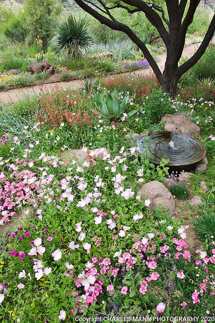 Red Scarlett Hedgenettle, Stachy's coccinia, and pink Mexican Evening Primrose, Oenothera speciosa, surround a fountain and create a colorful garden scene in the Demonstration Garden at Boyce Thompson Arboretum in Superior, Arozina