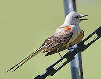 Adult scissor-tailed flycatcher
