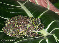 1217-07vv  Vietnamese Mossy Frog - Theloderma corticale - © David Kuhn/Dwight Kuhn Photography.