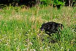 Black Lab running in the grass