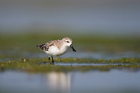 Spoon-billed Sandpiper (Eurynorhynchus pygmeus) in basic (winter) plumage. Rakhnine State, Myanmar. January.