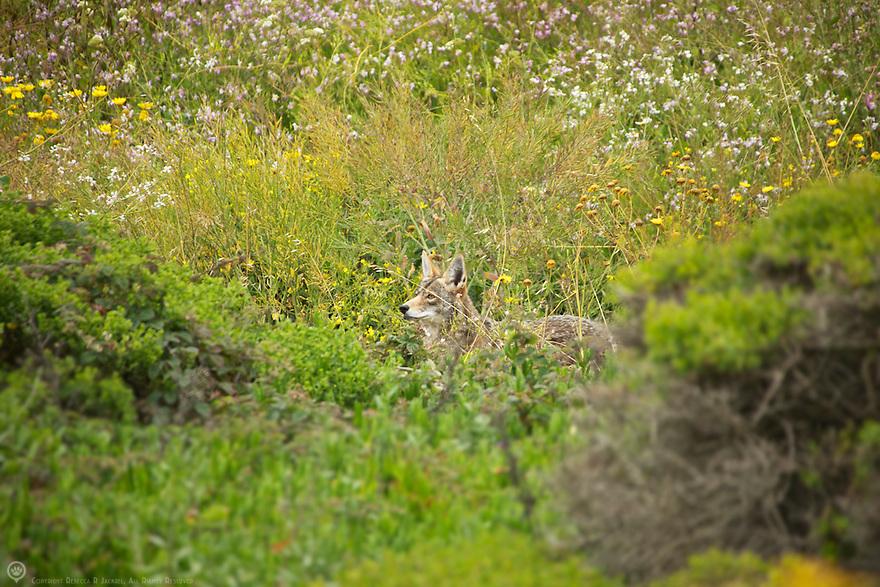 North America, USA, California, Pacifica. Coyote.