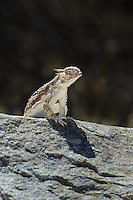 437800006 a wild southern desert horned lizard phrynosoma platyrhinos calidiarum suns on a large rock in mono county california