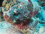 Blue Corner, Palau -- Devil Scorpionfish on sandy bottom.