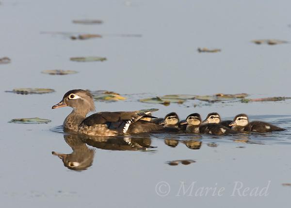 Wood Duck (Aix sponsa) female with five ducklings, Montezuma National Wildlife Refuge, New York, USA