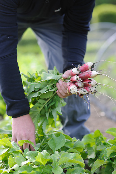Harvesting French Breakfast Radish
