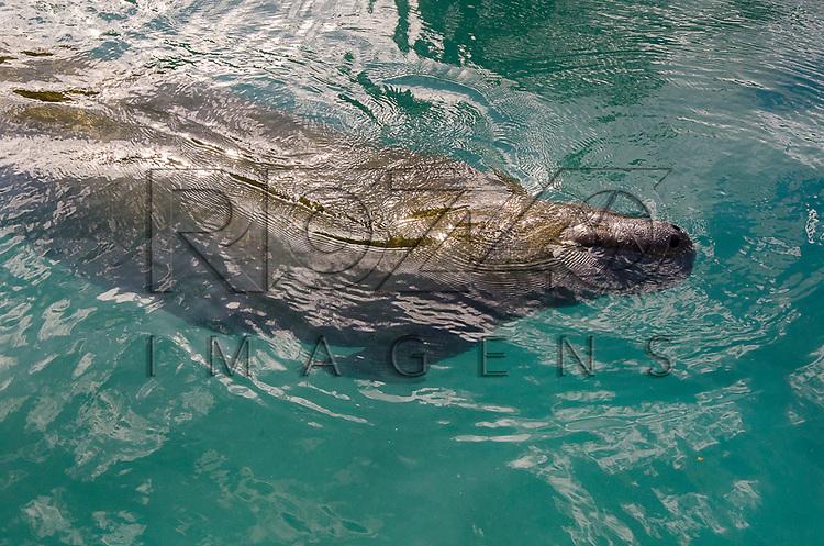 Peixe-boi-marinho (Trichechus manatus) respirando. Centro de Preservação do Peixe-Boi Marinho - vinculado ao ICMBio - Instituto Chico Mendes, Ilha de Itamaracá - PE, 12/2012.