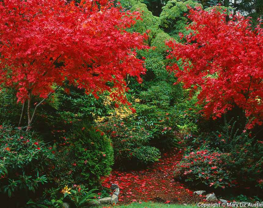 Vashon Island, WA       <br /> Brilliant red foliage of Japanese maples (Acer palmatum 'bloodgood') papired with rhododendrons in a woodland garden