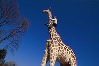 Deutschland, Hamburg, Giraffe von Balkenhol vor Hagenbeck's Tierpark