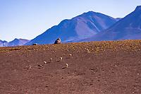 South America, Chile, Vicuna