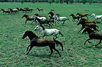 Wild Brumbies/Horses. Northern Territory Australia