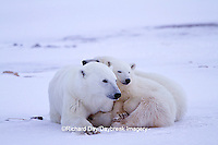 01874-12701 Polar bears (Ursus maritimus)  mother and 2 cubs  in winter, Churchill Wildlife Management Area, Churchill, MB Canada