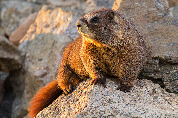A marmot enjoys sunset along Trail Ridge Road, Rocky Mountain National Park.<br />
