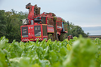 Harvesting sugar beet - licolnshire, October