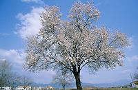 Mandelbaum, Mandel-Baum, Mandel, Prunus dulcis, Amygdalus dulcis, Amygdalus communis, Prunus amygdalus, Amygdalus amara, Amygdalus sativa, Almond, Amandier
