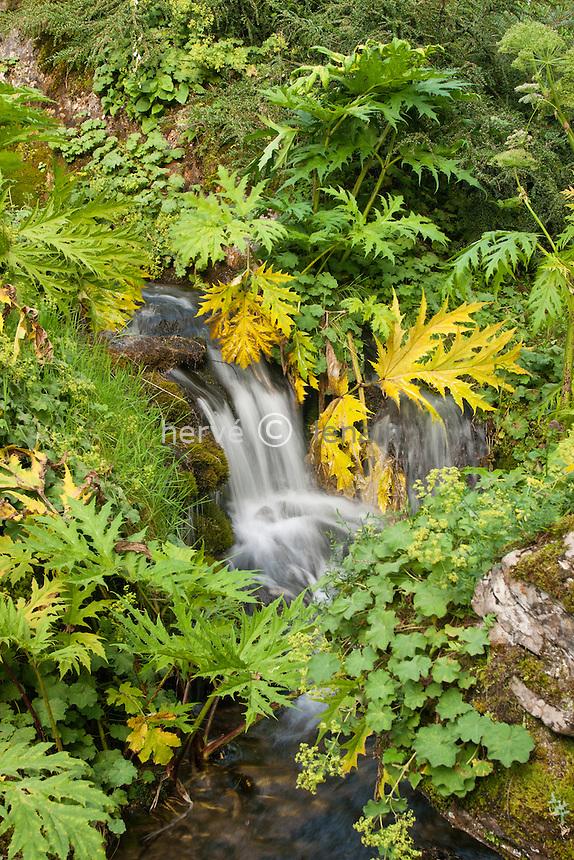 France, Rhône-Alpes, Haute-Savoie (74), Samoëns, le jardin alpin de la Jaysinia, rivière bordée d 'alchémilles et de berces // France, Rhone-Alpes, Haute-Savoie (74), Samoëns, the Alpine Garden Jaÿsinia is an alpine botanical garden, here the river lined with alchemilla and cradles.