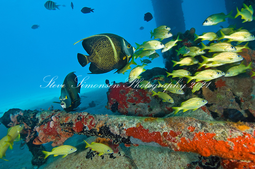 French Angelfish and Grunts.<br /> Fredericksted Pier<br /> Fredericksted, St. Croix<br /> U.S. Virgin Islands