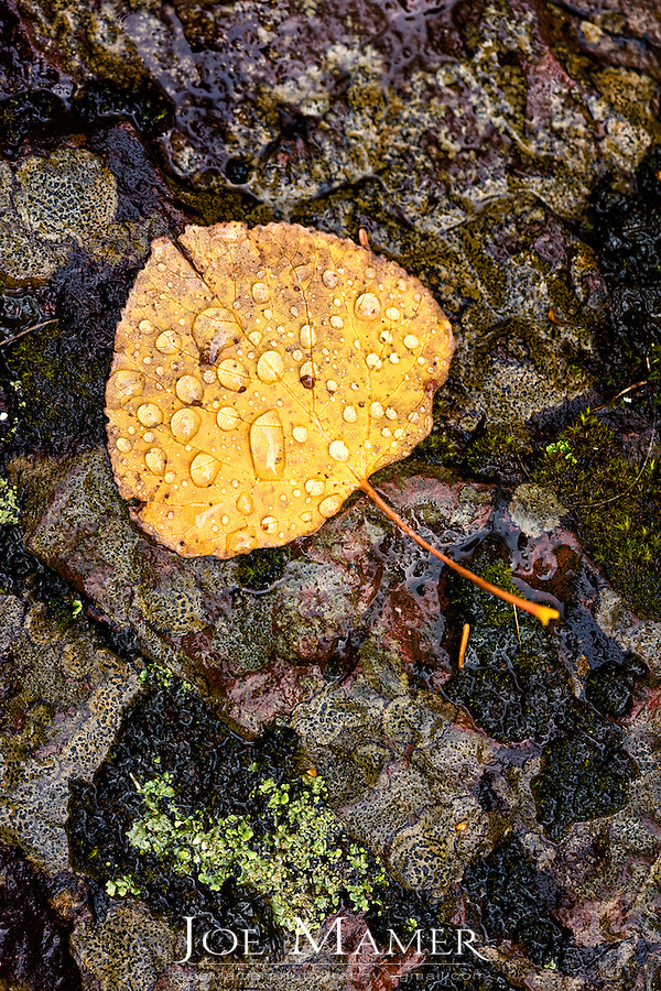 A single yellow aspen leaf on lichen covered rock during a rain shower.