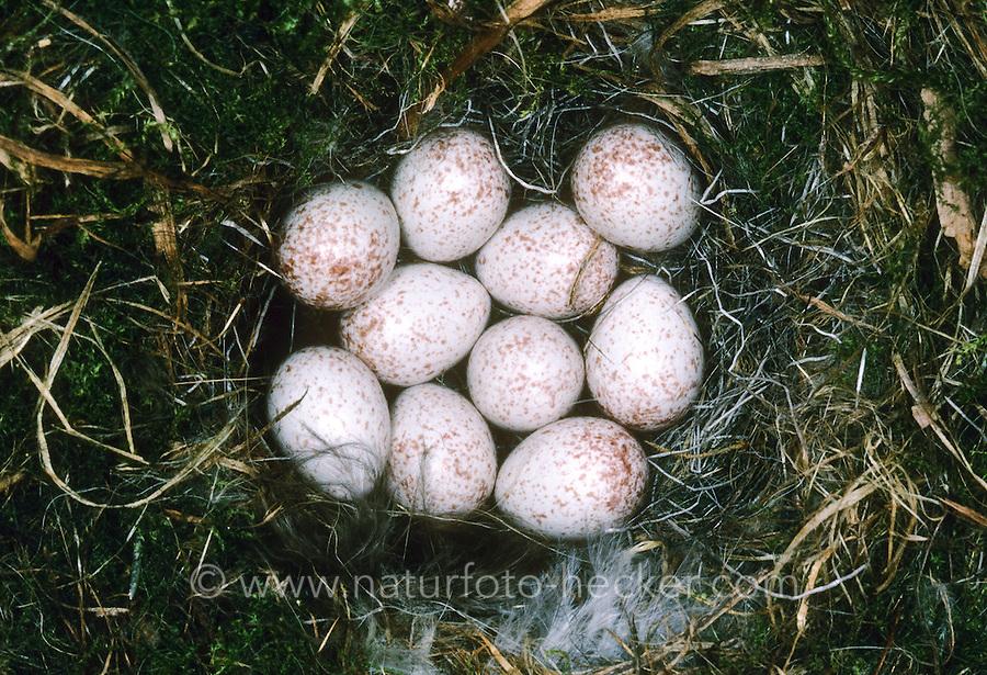 Blaumeise, Ei, Eier, Gelege im Nest, Blau-Meise, Meise, Cyanistes caeruleus, Parus caeruleus, blue tit