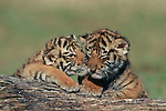 A sibling pair of Bengal tiger cubs nuzzle each other while playing at the Prairie Winds Wildlife Refuge, east of Castlerock, Colorado.