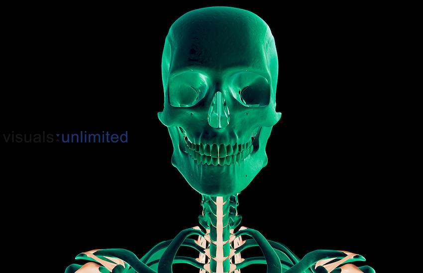 An anterior view of the ligaments of the head and neck. Royalty Free