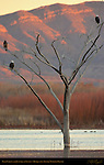 Bald Eagles and Juvenile at Sunset, Bosque del Apache Wildlife Refuge, New Mexico