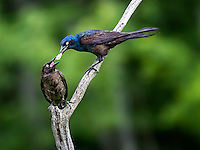 Common Grackle feeding young grackle with food passing between adult and young