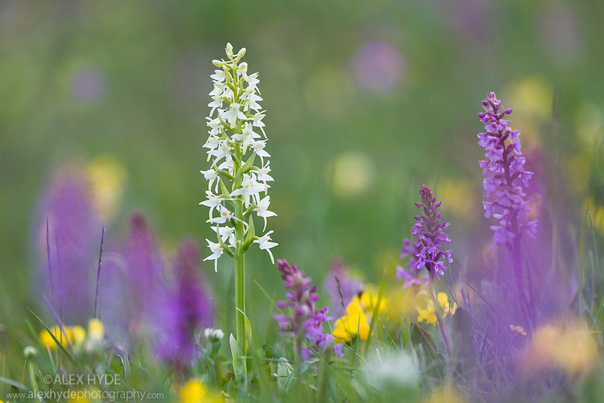 Lesser Butterfly Orchid {Platanthera bifolia} surrounded by Fragrant Orchids {Gymnadenia conopsea} in ancient alpine meadow. Nordtirol, Austrian Alps. June.