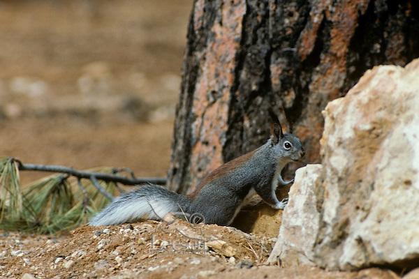 Abert Squirrel or tassel-eared squirrel (Sciurus aberti).  South rim of Grand Canyon, Arizona.