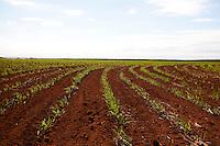 Nova Ponte_MG, Brasil...Plantacao de cana-de-acucar em Nova Ponte, Minas Gerais...The sugar cane agriculture in Nova Ponte, Minas Gerais...Foto: LEO DRUMOND / NITRO