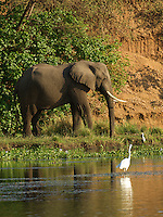 Egret stalking a fish with an elephant in the background on the Chongwe River in the Lower Zambezi Africa.