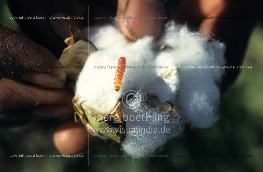 INDIA, organic cotton, Maikaal Project of Maikaal Fibres Ltd. and Remei AG, cotton plant at organic cotton farm, ripe boll formation with bollworm a major pest in cotton farming / INDIEN, Biobaumwolle Maikaal Projekt von Maikaal Fibres Ltd. und Remei AG, Baumwollpflanze mit reifer Baumwollkapsel und Schaedling Raupe, Kapselbohrwurm