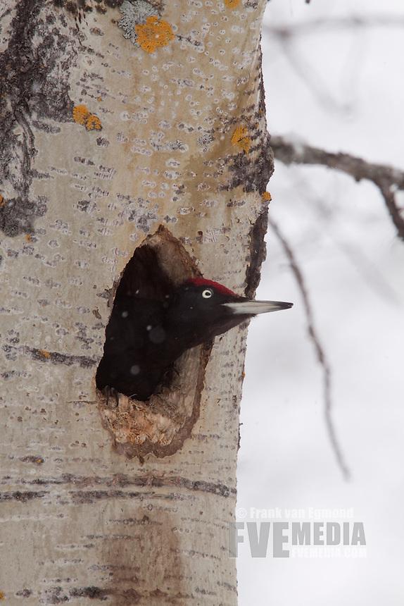 Black Woodpecker at nest.
