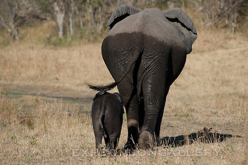Mother elephant and calf emerge wet after crossing the river, Botswana.