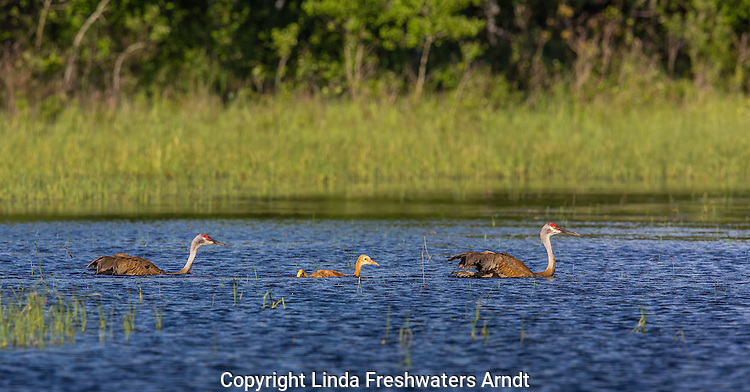 Sandhill crane family swimming to a bog on a northern Wisconsin swamp