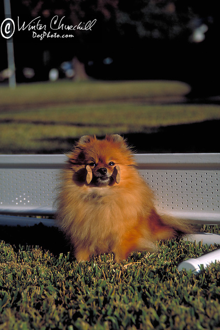 Pomeranian<br /> <br /> <br /> <br /> Shopping cart has 3 Tabs:<br /> <br /> 1) Rights-Managed downloads for Commercial Use<br /> <br /> 2) Print sizes from wallet to 20x30<br /> <br /> 3) Merchandise items like T-shirts and refrigerator magnets