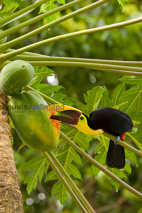 Chestnut-mandibled Toucan eating Papaya fruits (Ramphastos swainsonii), Costa Rica