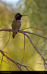 Anna's Hummingbird Male, Temescal Canyon, Southern California
