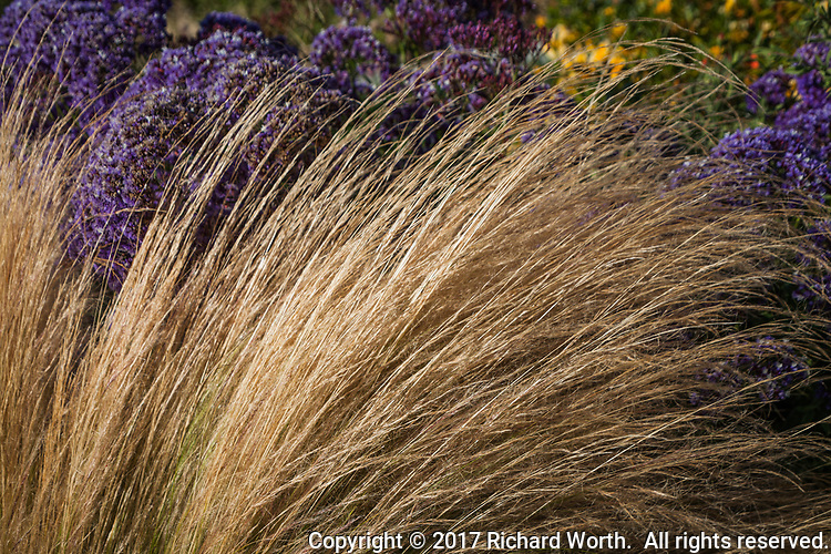 Long strands of dry yellow grass with purple flowers in the background on a neighborhood street corner.