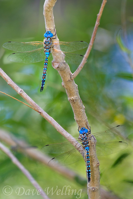 339360041 a pair of wild male blue-eyed darners rhionaeschna multicolor perches on a tree branch at blackrock springs inyo county california