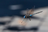 A dragonfly, a Blue-eyed Darner, in flight at a neighborhood park which includes a pond, used by the insect to resproduce.