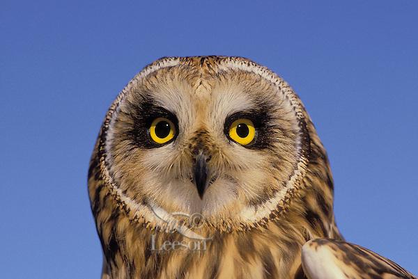 Short-Eared Owl (Asio flammeus), summer,  North America.
