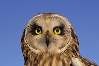 Short-Eared Owl (Asio flammeus), summer,  North America.