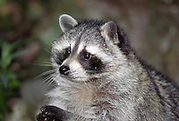 35-M03-RC-07    RACCOON (Procyon lotor) foraging, western Washington,  USA..