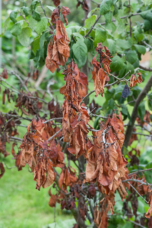 A plum tree afflicted with dieback, early August. Leaves wither, turn brown, and die, and fruit fails to develop. It can be caused by a number of different infections.