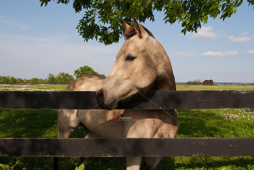 Texas Hill Country Quarter Horse next to a fence in a green pasture