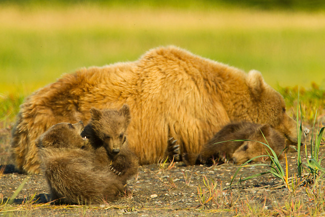 A mother brown is seen here with her three six-month-old cubs in Lake Clark National Park, Alaska.  Photo by Gus Curtis.