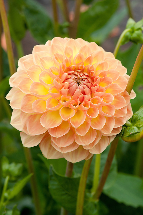Dahlia 'Blyton Softer Gleam', mid August. Awarded RHS AGM in 2010.